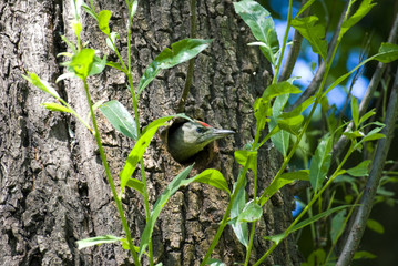 Woodpecker Picus canus peeking out of hollow