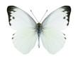 Butterfly Appias paulina (male)