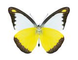 Butterfly Appias lyncida (male) (underside)