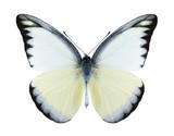 Butterfly Appias lyncida (male)