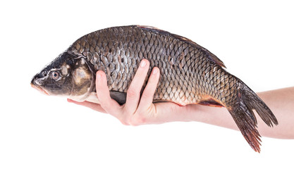 Close up of carp fish in hand