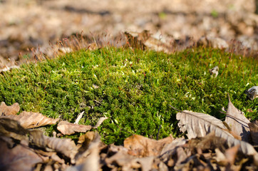 Green moss among the fallen leaves in the forest