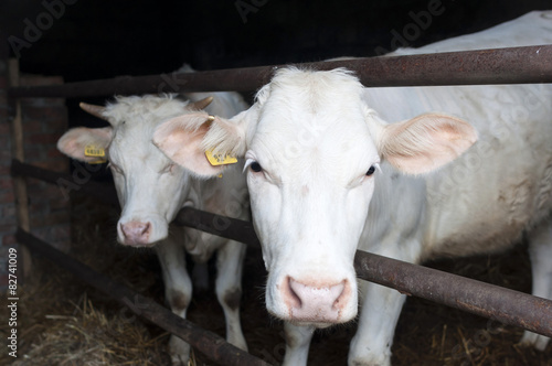 Aluminium Koe Charolais breed cow