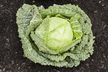 Cabbage in soil