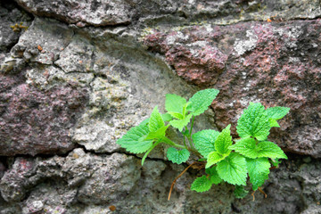 Nettle bushes growing on a stone wall.