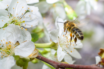 Bee flying to flowers of apricot