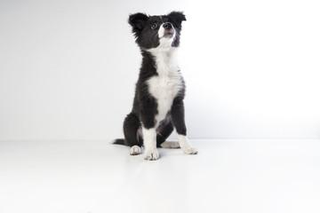 Border Collie (4 months old)