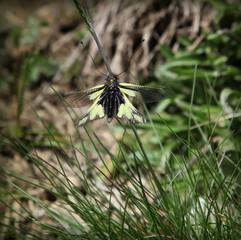 L'Ascalaphe soufré: insecte.
