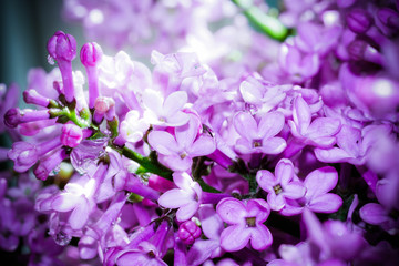Lilac spring flowers, abstract soft floral background