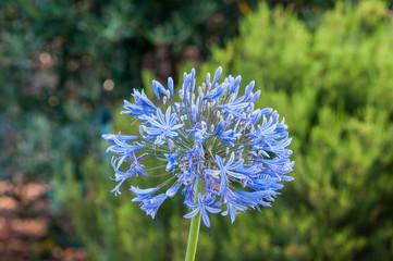 Flower of an agaphantus plant