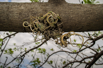 Parasitic plant growing from fallen tree in Costa Rica