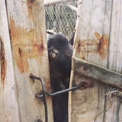 коза подсматривает