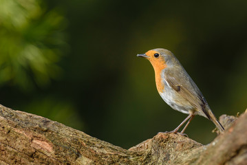 European robin (Erithacus rubecula) on a branch.