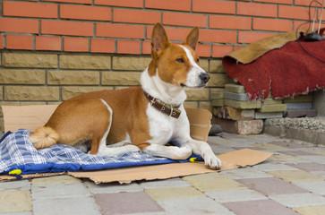 Basenji dog having rest outside the home it lives in