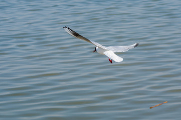 Black-headed gull making trial flight over river