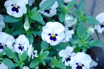 Stiefmütterchen Weiss-Lila-Blau