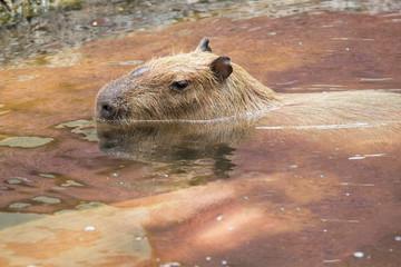Close up of a Capybara (Hydrochoerus hydrochaeris) and two babie