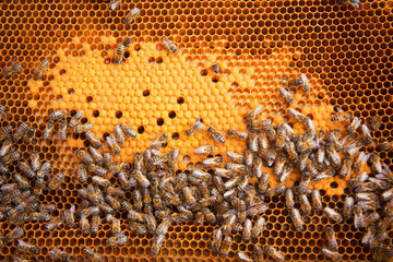 Bees Broods