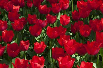 Fioritura di tulipani rossi