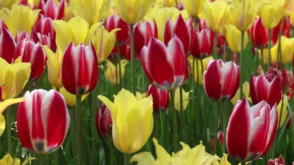 Beautiful yellow and red colour tulip in wind