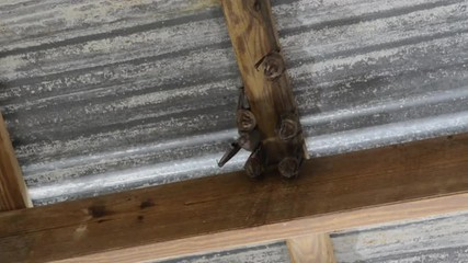 A group of bats hang from a simple tin roof.