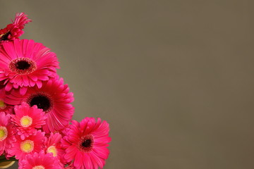 Beautiful pink gerberas on gray background