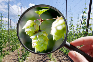 Humulus lupulus in hop garden - czech agriculture
