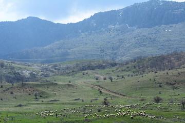 kırsalda hayvancılık ve koyun sürüleri
