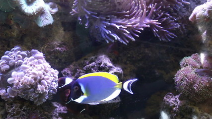 Sea Anemone and anemone fish Underwater nature in aquarium