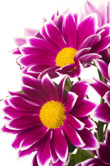 red chrysanthemum flowers isolated on white