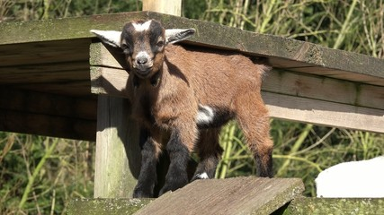 goat kid standing, looking and run away