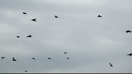 Flock of pigeons circling and flying against the sky