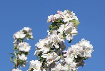 Apfelbaum - Blüten