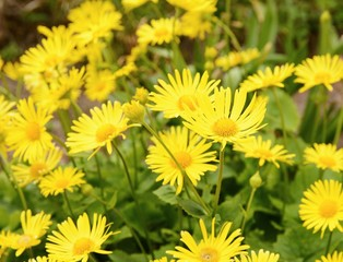 Plant Doronicum Plantagineum with yellow blossom at spring.