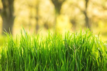 Spring grass