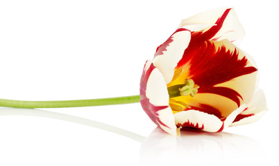 red with white tulip isolated on a white background