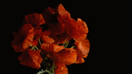 Poppies red black shadowy blow