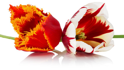 red with orange and red with white tulips.