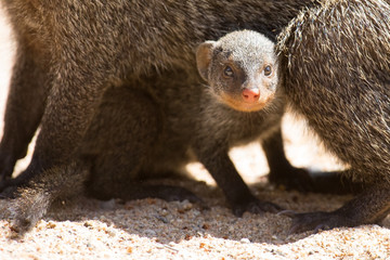 Banded mongoose baby hides under mother for protection