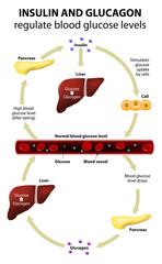Insulin and glucagon
