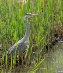 Great Blue Heron during fish hunt.