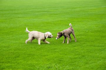 Zwei Hunde spielen auf Wiese mit Ball