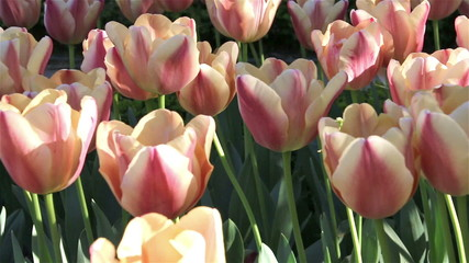 Beautiful pink tulip background.
