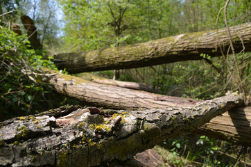 Fallen trees and tree stumps after a storm