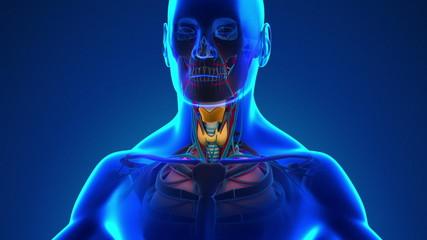 Anatomy of Human Larynx - Medical X-Ray Scan