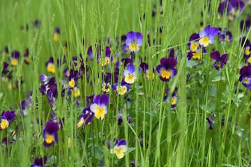 viole violette fiori giardino