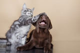 Labrador puppy and kitten breeds Maine Coon
