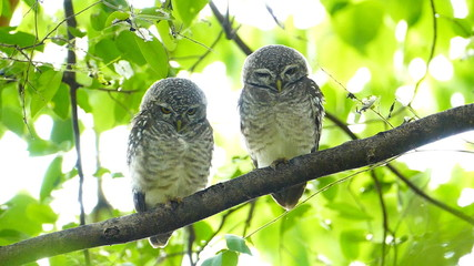 Two owls on a tree. slow motion.
