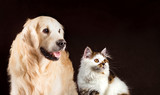 Cat and dog, scottish kitten, golden retriever looks at right