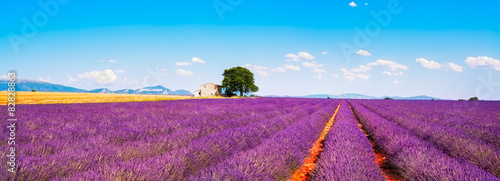 Foto op Aluminium Lavendel Lavender flowers blooming field, house and tree. Provence, Franc